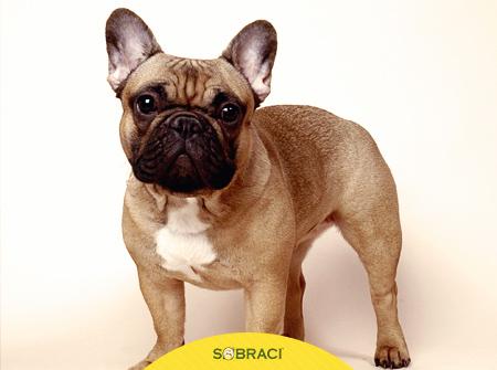 Raça do mês: Bulldogue francês