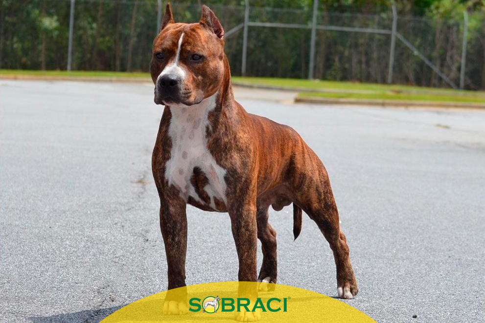 Raça da Semana – American Staffordshire Terrier
