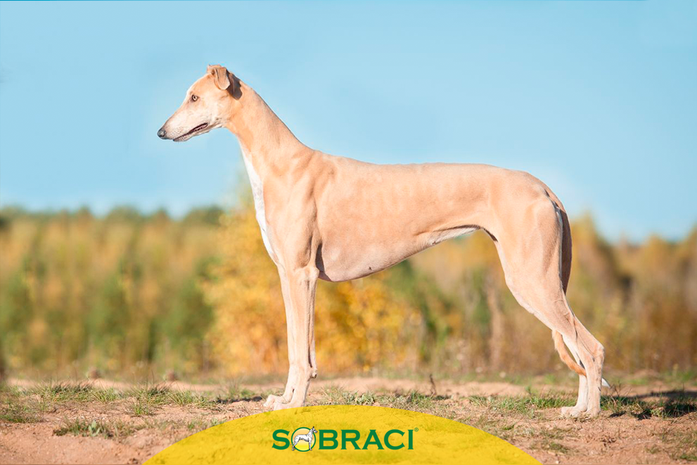 Raça da Semana – Greyhound