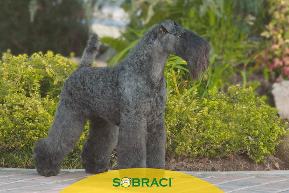 Raça da Semana – Kerry Blue Terrier