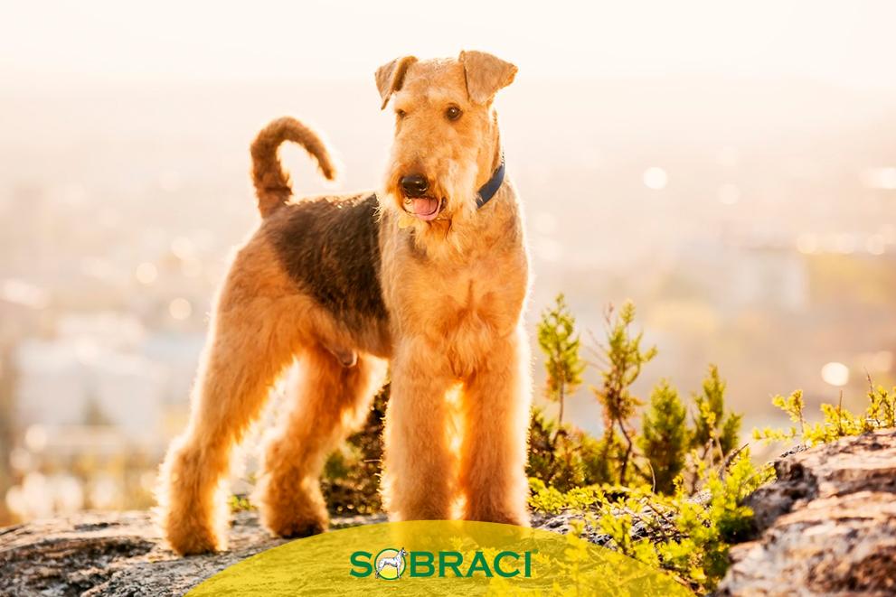 Raça da Semana – Airedale Terrier