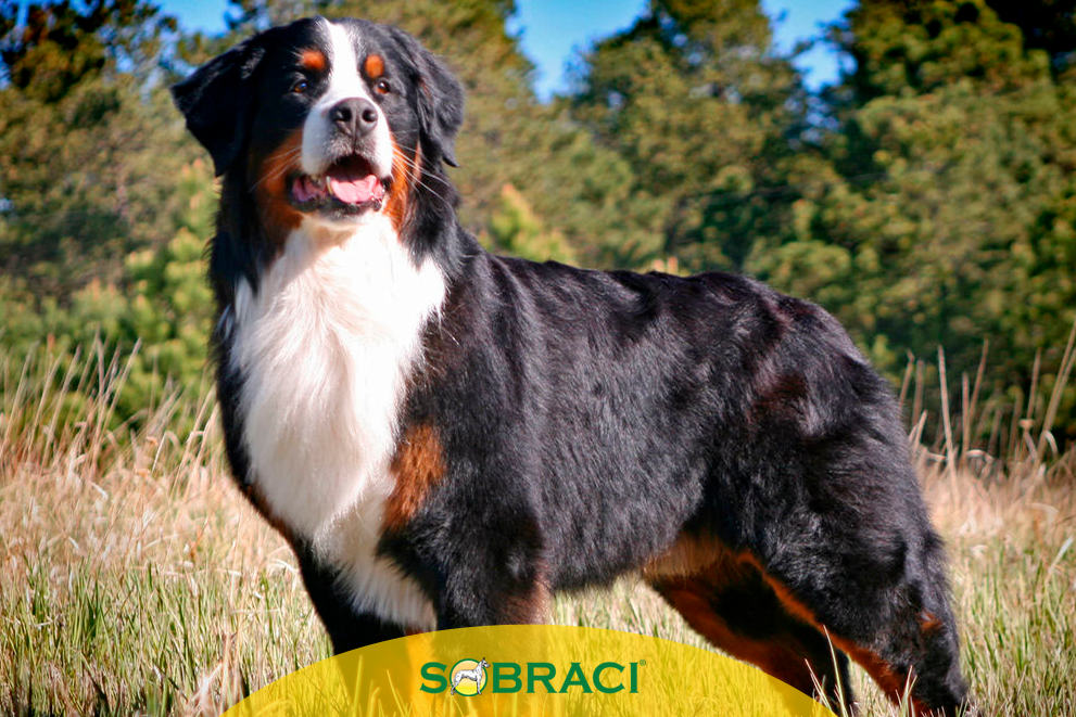 Raça da Semana – Bernese Mountain Dog