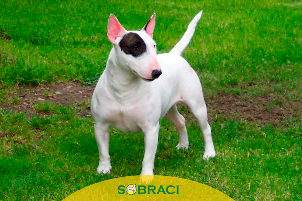 Raça da Semana – Bull Terrier