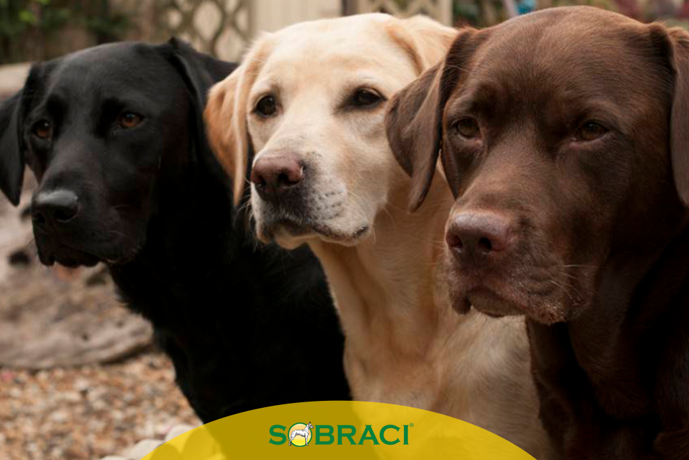 Raça da Semana – Retriever do Labrador