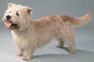 Terrier Irlandês do Glen do Imaal