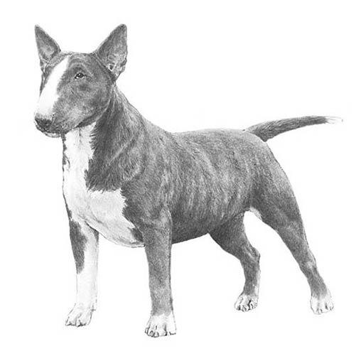 Bull Terrier Miniatura