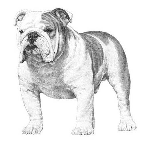 Bulldogue Inglês