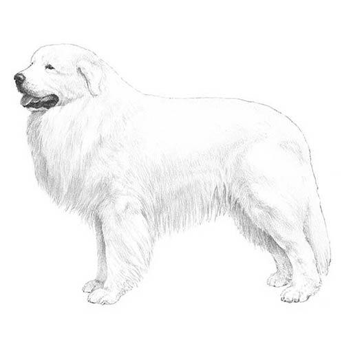 Cão das Montanhas dos Pirineus
