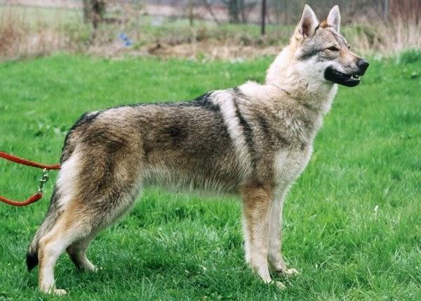 Cão Lobo Tchecoslovaco