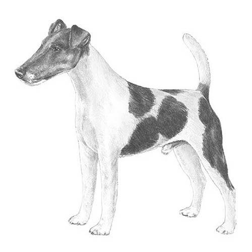 Fox Terrier Pelo Liso