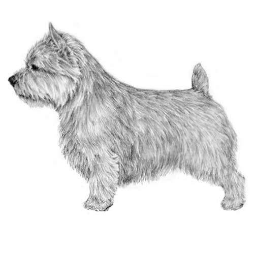 Norwish Terrier
