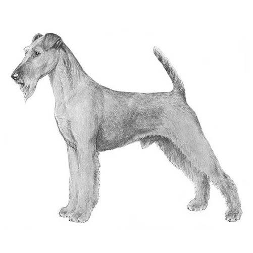 Terrier Irlandes