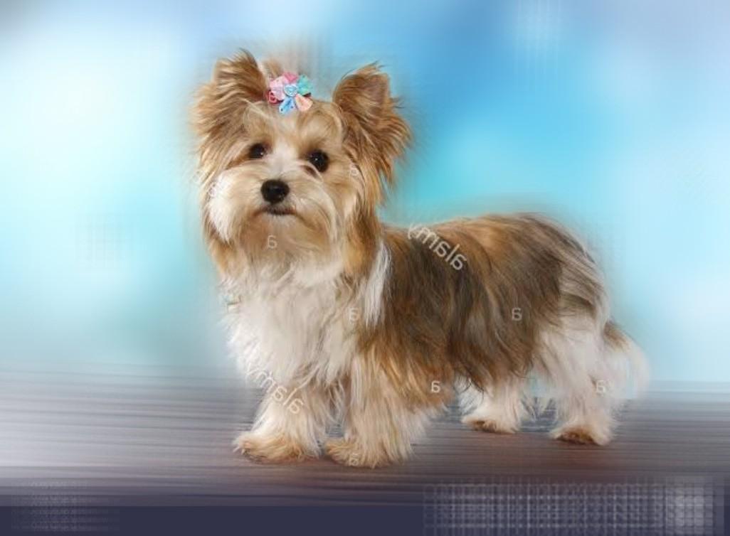 White Ocean Pearl Yorkshire Terrier